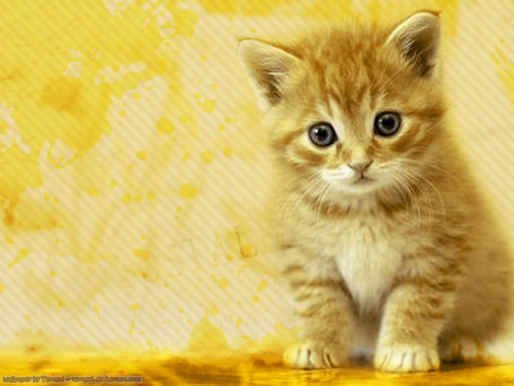 Desktop Cute Cat Hd Wallpapers Download 1024x768
