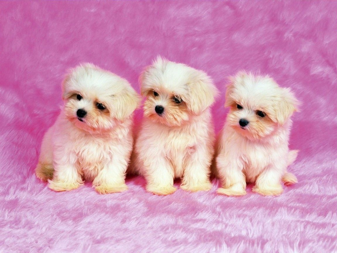 Cute White Dogs Wallpaper Cute White Dog Iphone Litle Pups 1152x864