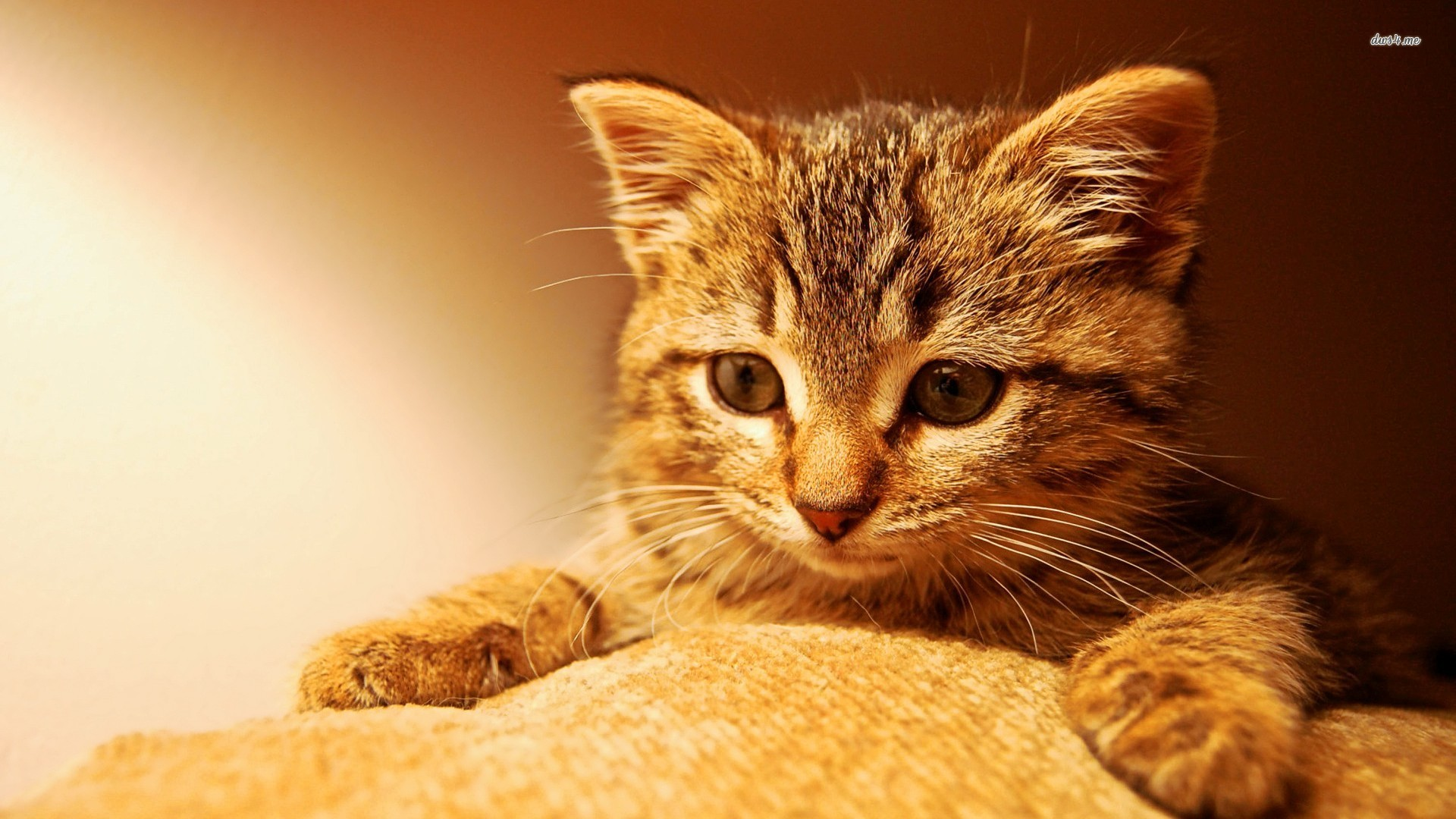 Cute Kitten Wallpapers   1920x1080