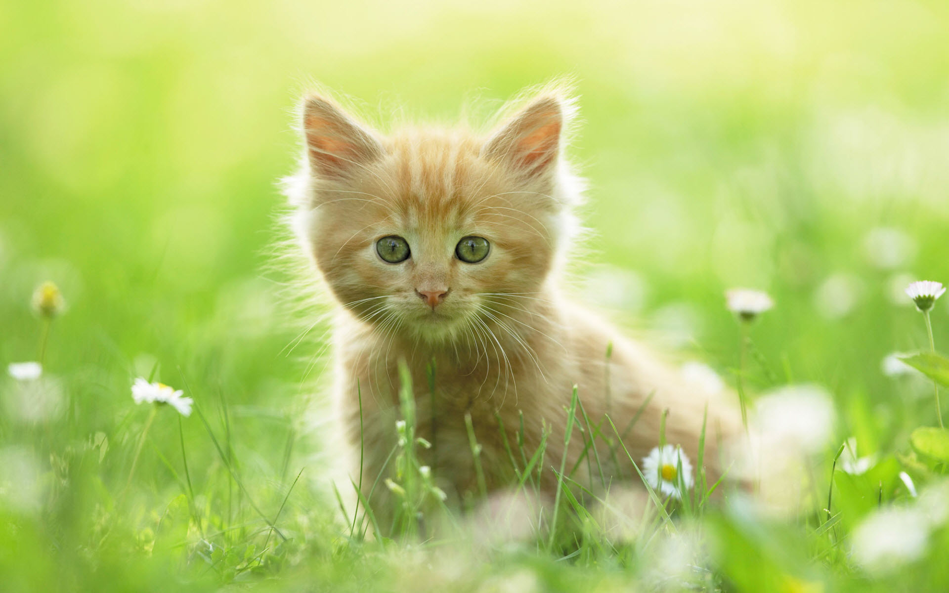 Kitten HD Wallpapers  Backgrounds  Wallpaper  1920x1200