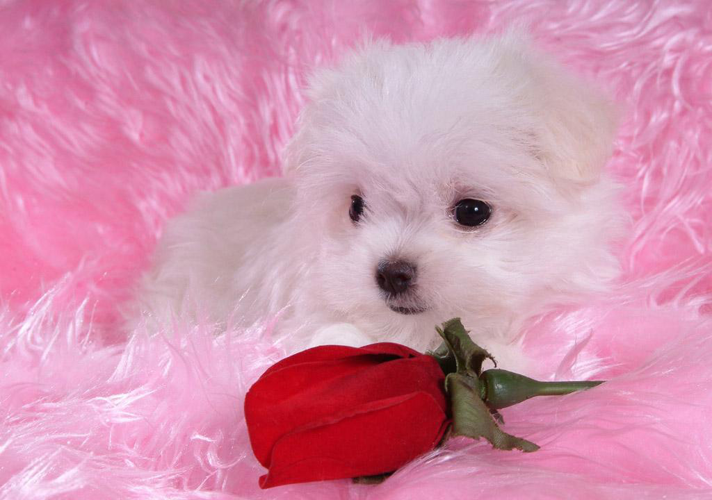 Cute Puppy Wallpaper With Wallpapers Of Puppies Hd For Mobile 1024x720