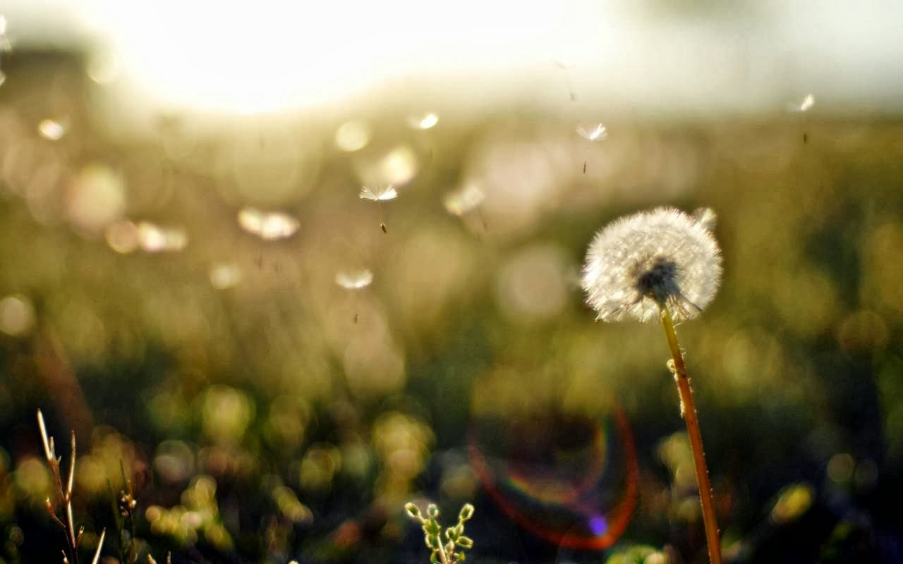 Dandelion Wallpaper Android Apps On Google Play 1280x800