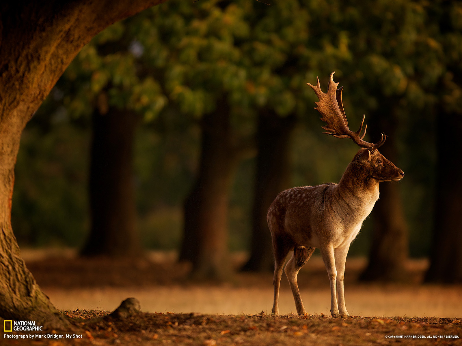 Deer wallpaper x