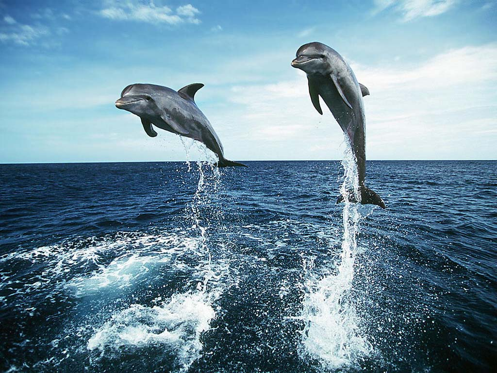 Free Dolphin Wallpapers For Desktop  Wallpaper  1024x768