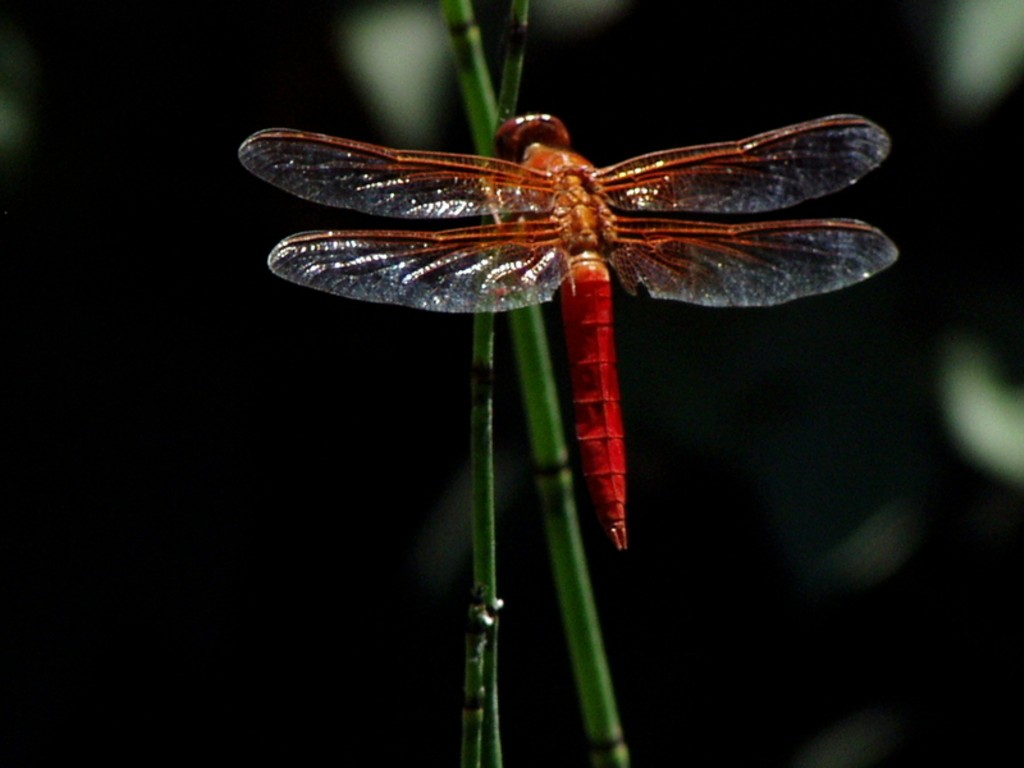 Dragonfly Wallpapers HD  PixelsTalk Dragonfly Flight  D and CG  Abstract Background Wallpapers on 1024x768