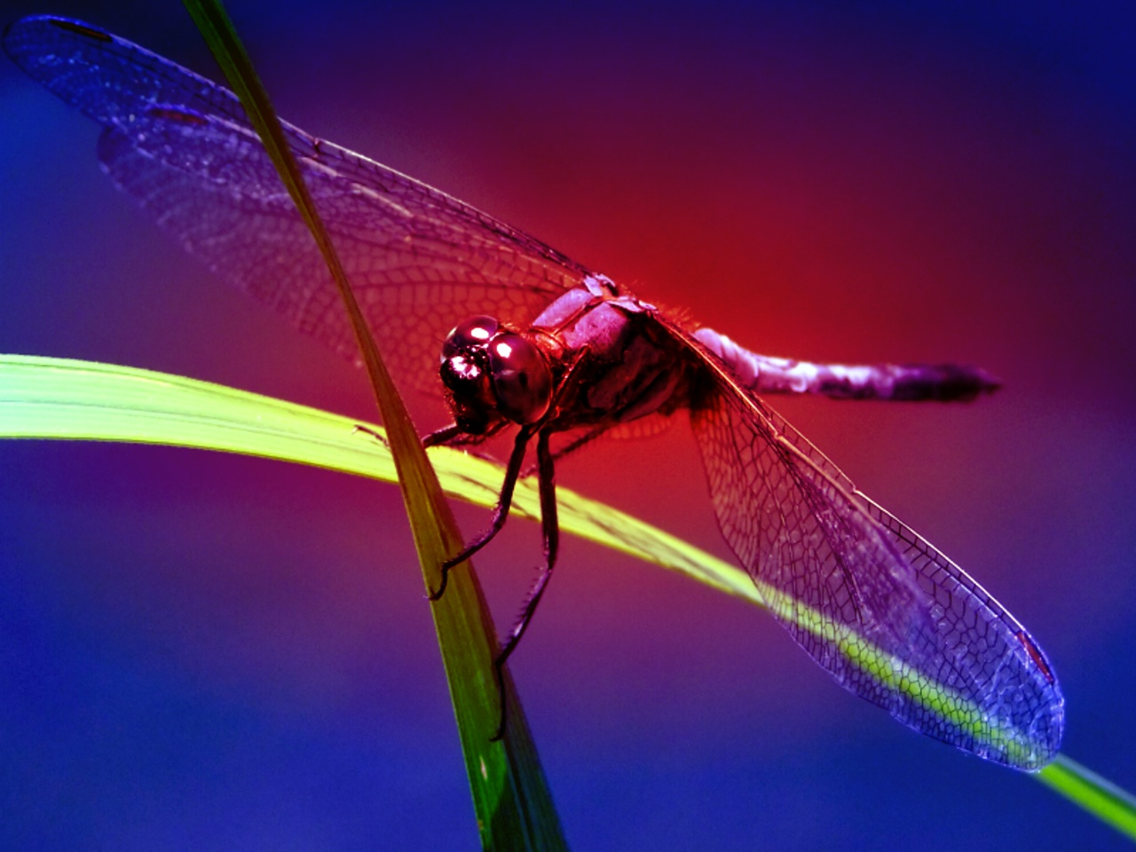 Dragonfly Wallpapers, Dragonfly Backgrounds in % Quality HD 1280x960