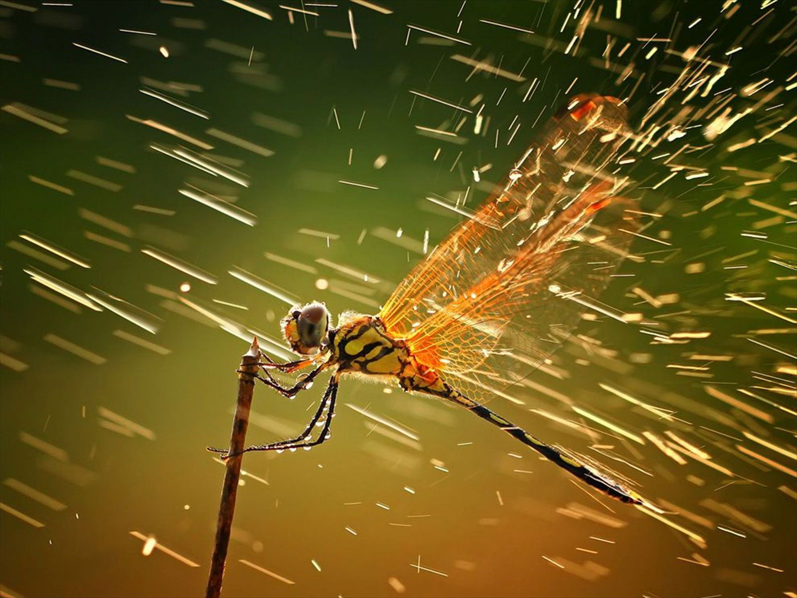 Dragonfly Wallpapers  Wallpaper  1600x1200