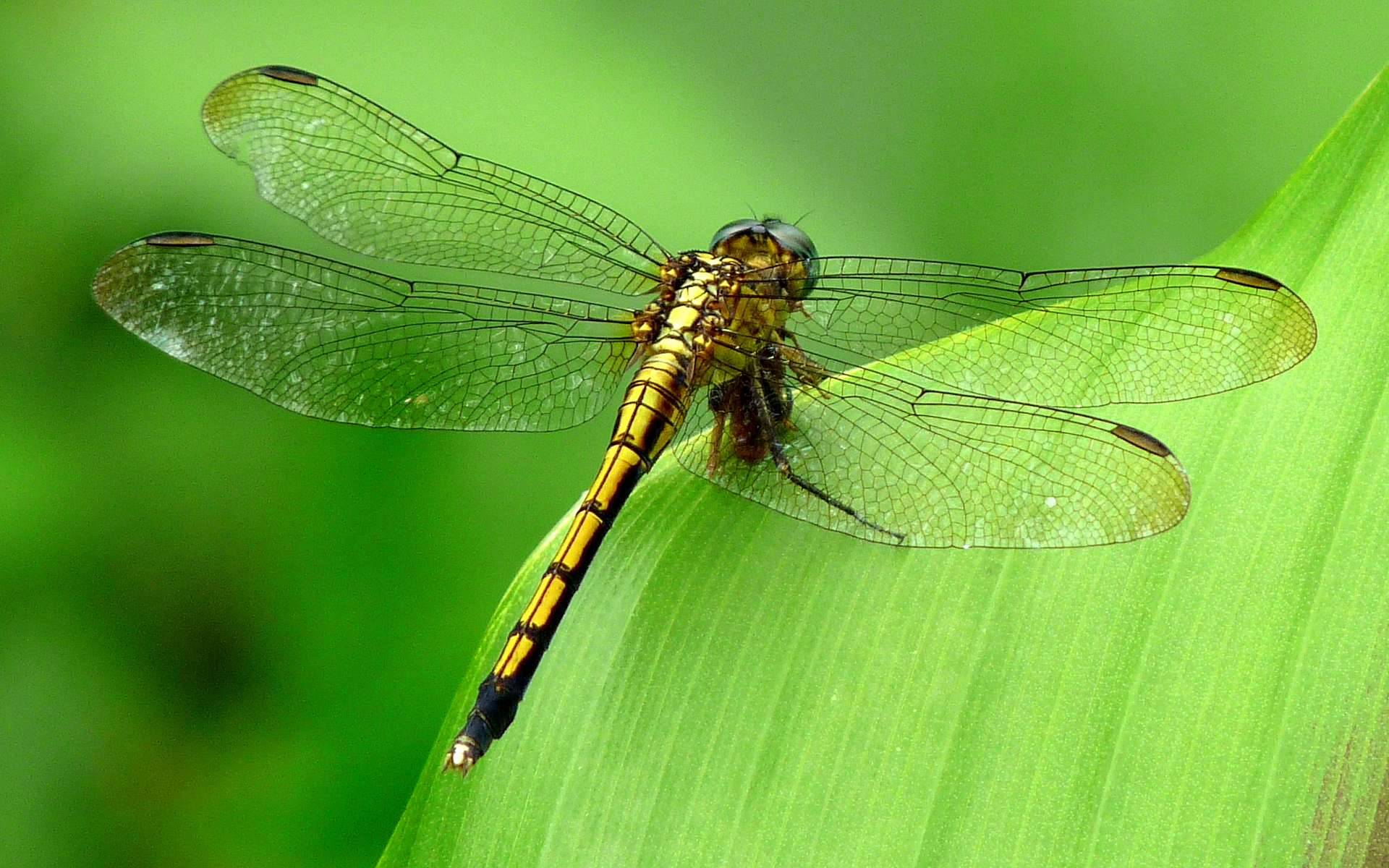 Dragonfly Images, Best Dragonfly Wallpapers in High Quality 1920x1200