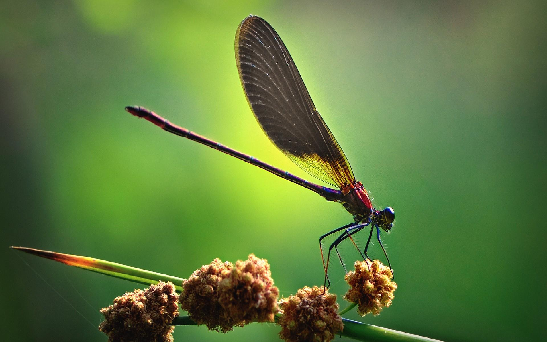 Dragonfly HD Wallpapers  Backgrounds  Wallpaper Page  1920x1200