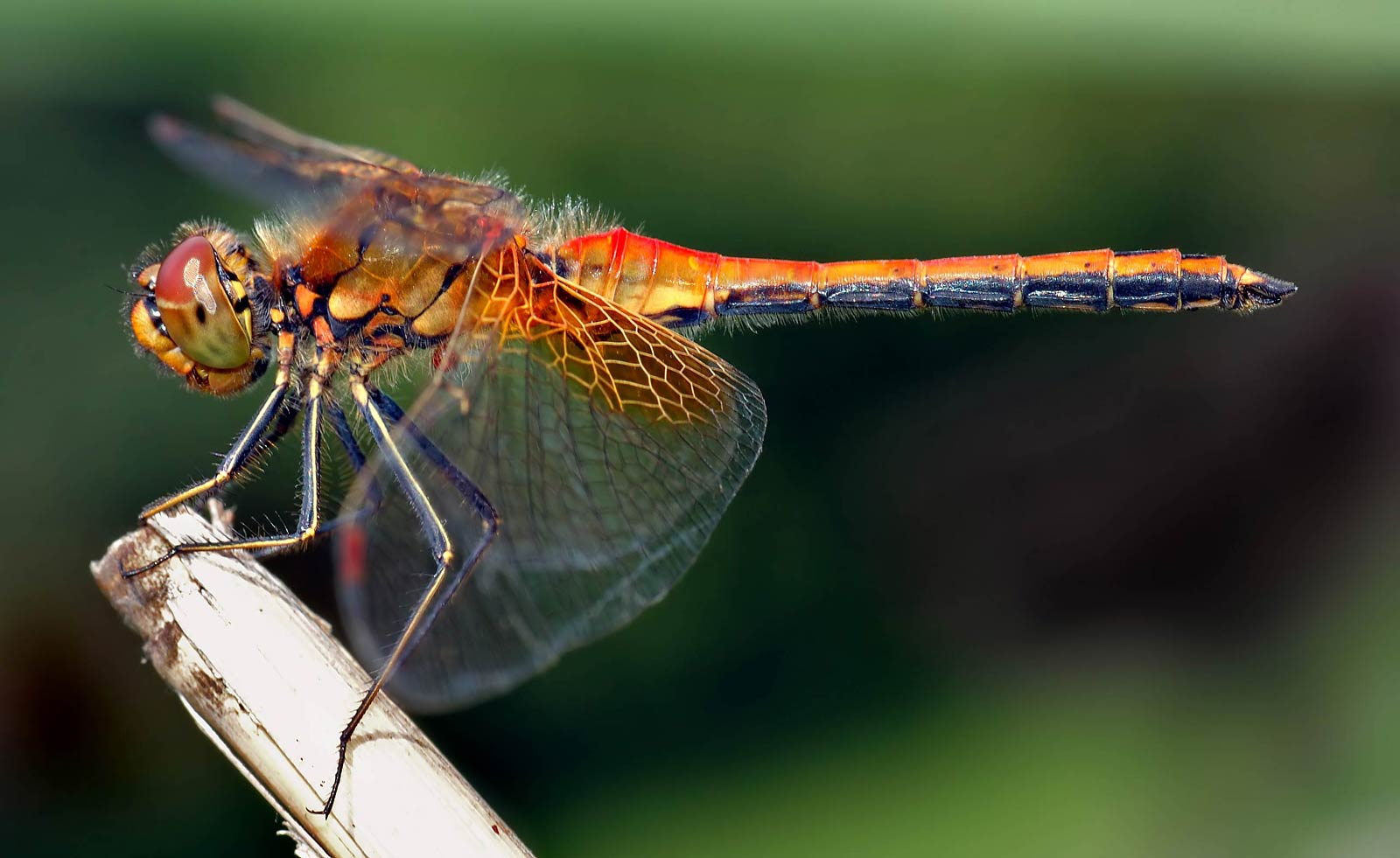 Laptop  Dragonfly Wallpapers HD, Desktop Backgrounds 1600x981