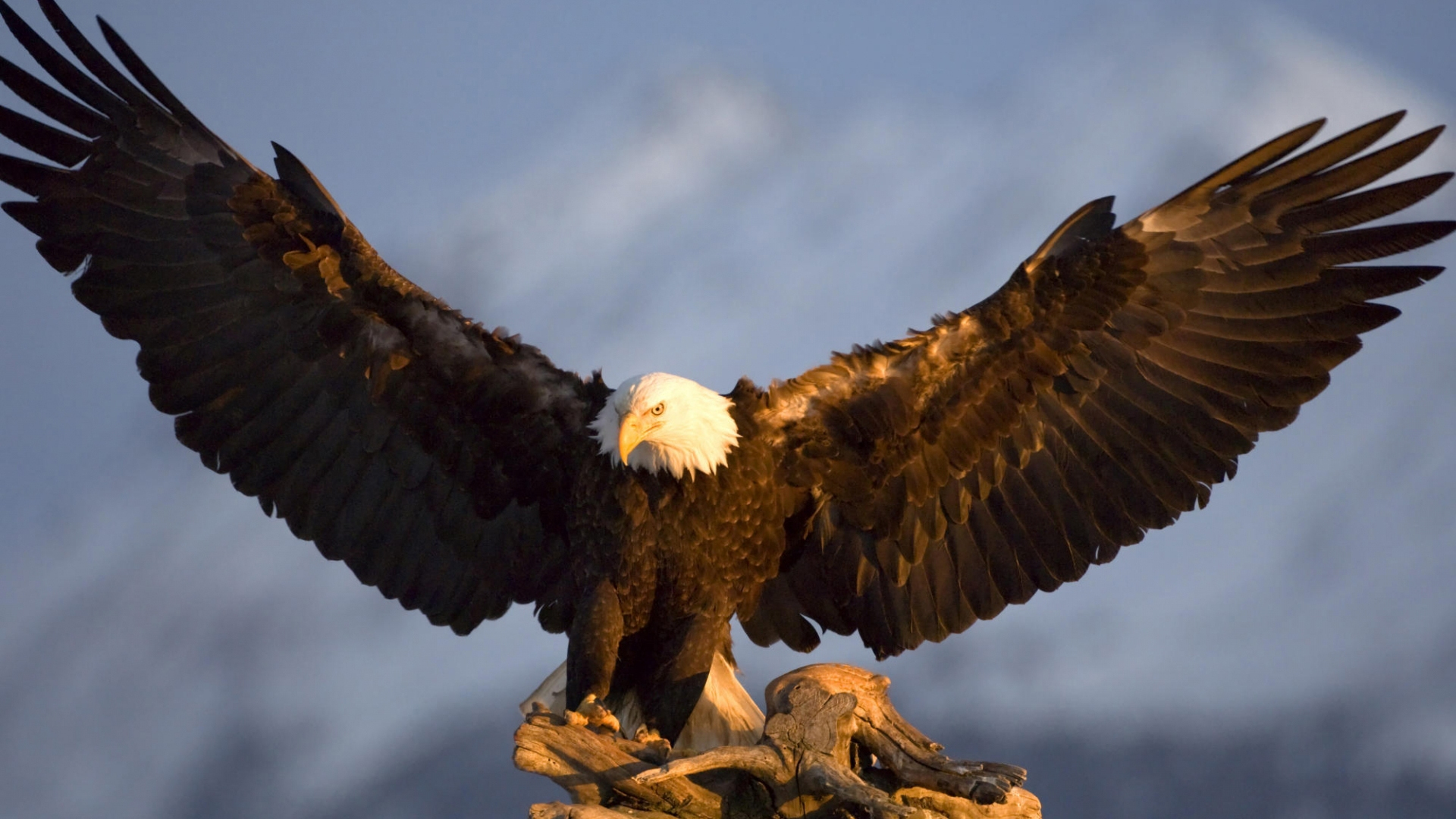 Eagle Face HD Wallpaper in High Resolutions Free Download 1920x1080