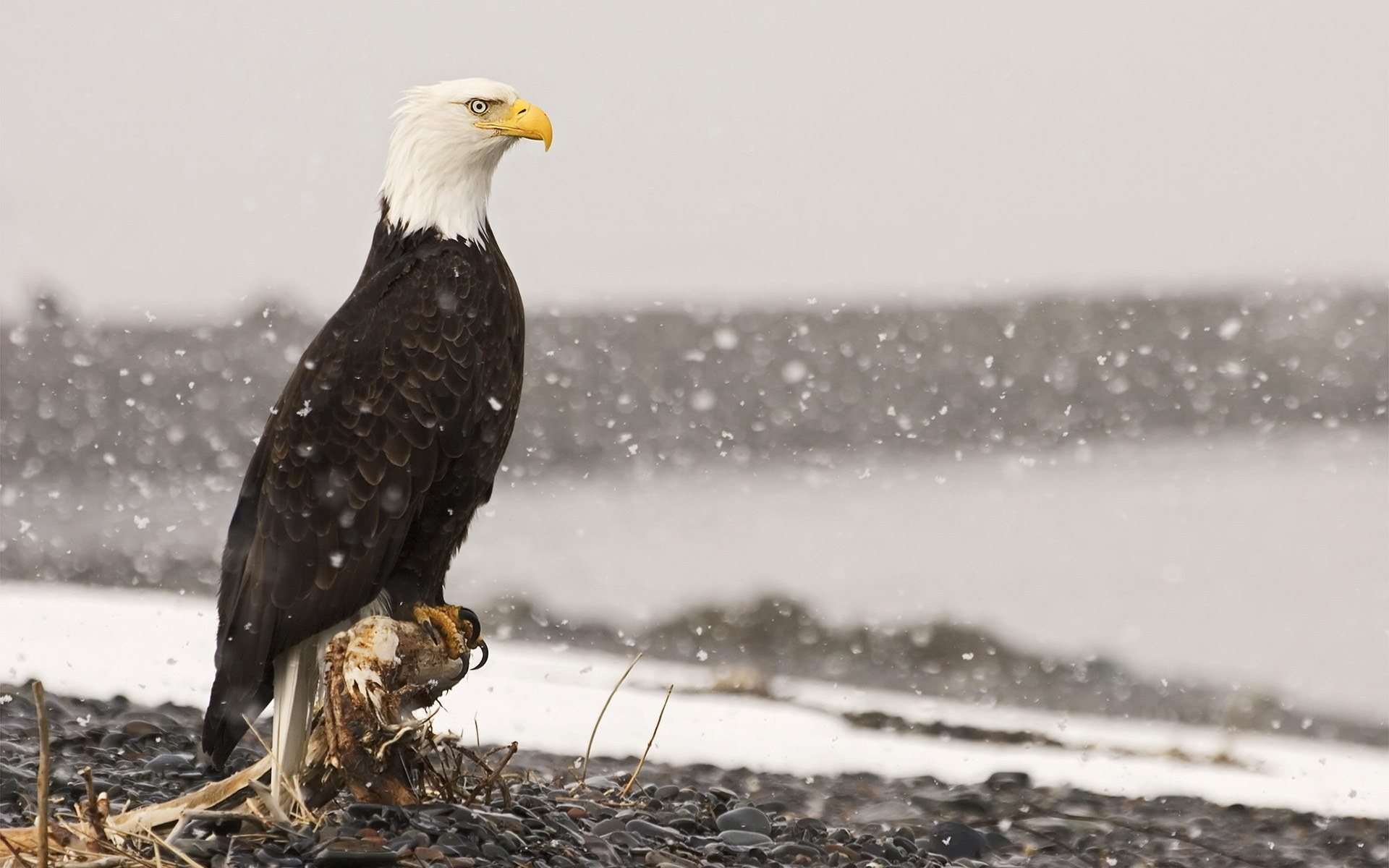 Free Bald Eagle Wallpapers  Wallpaper  1920x1200