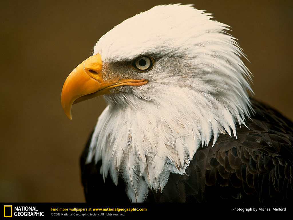 Bald Eagle Wallpapers  Animals Library 1024x768
