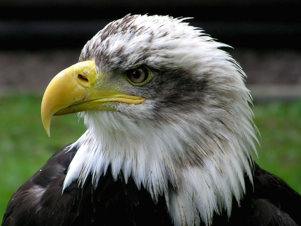Awesome American Eagle Brand Wallpaper  te Bald Eagle  HD Wallpapers  Pictures  Images  Backgrounds  Photos 1024x768