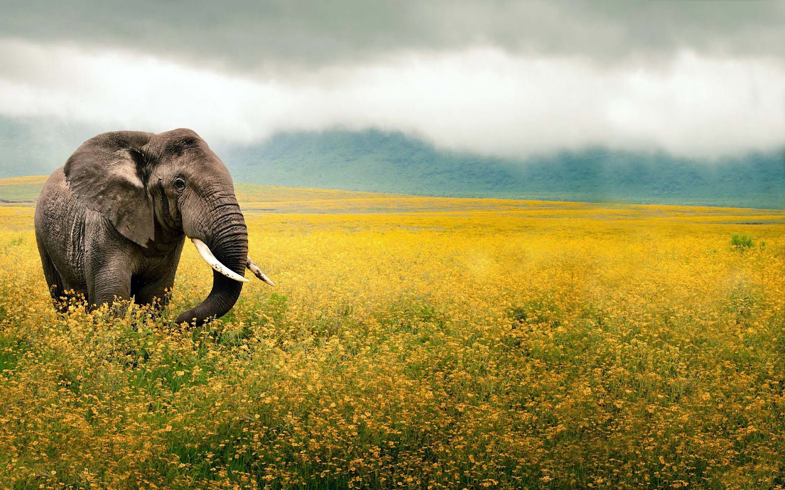 Collection of Elephant Hd Wallpaper on HDWallpapers 1600x1000