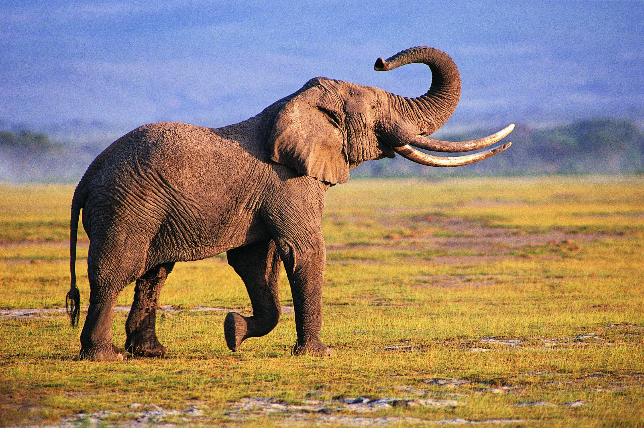 African Elephant Wallpaper HD Download For Desktop  PC 2260x1502