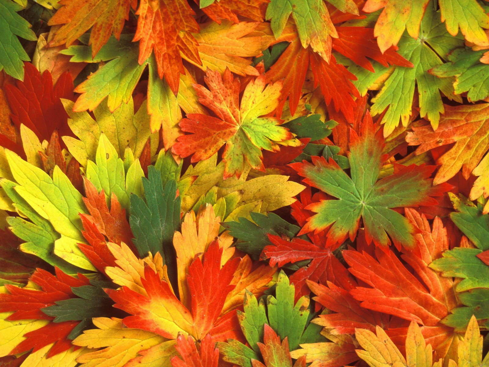 Autumn Wallpapers Free App For Android