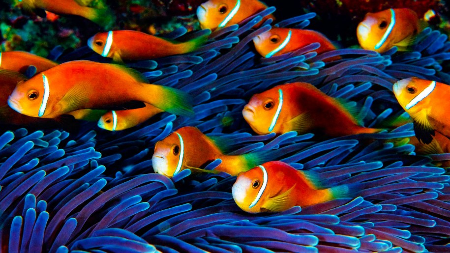 Beautiful Fish Wallpapers HD Pictures  One HD Wallpaper Pictures 915x515