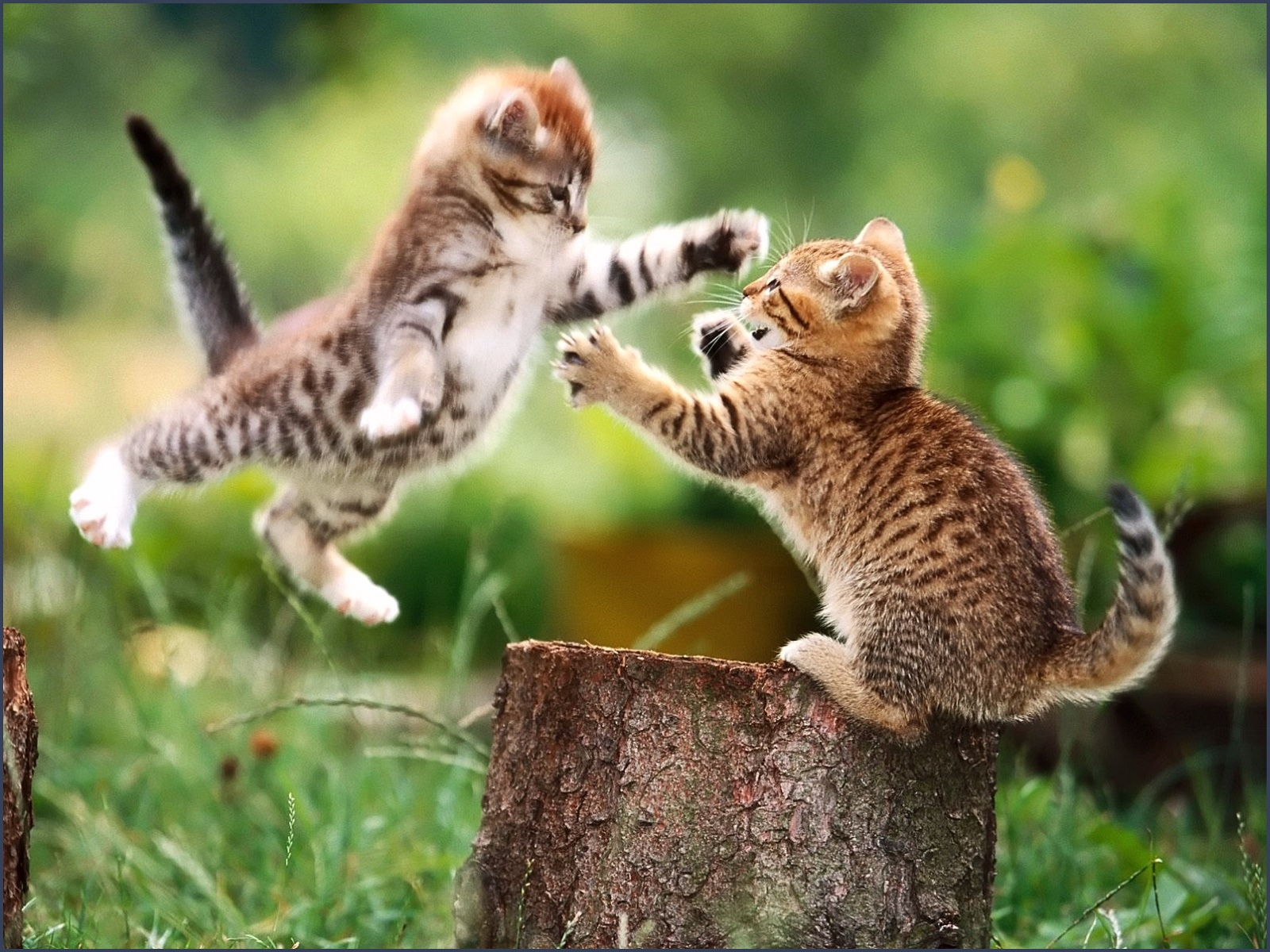 Funny Cat Fight Desktop Background Funnypicture Best Ideas About
