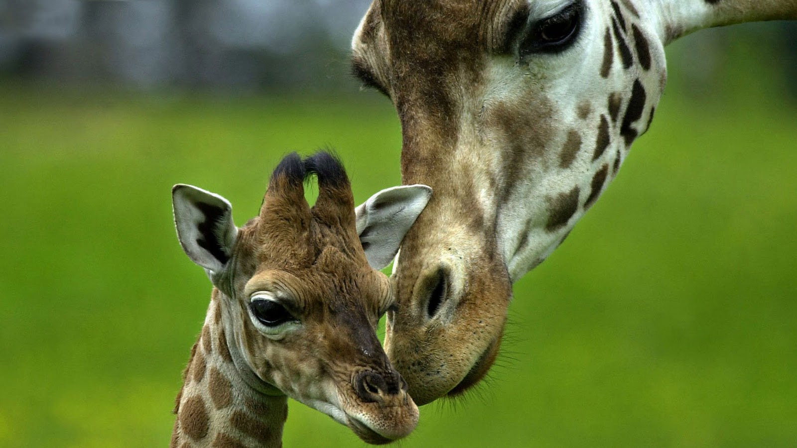 Giraffe Images Collection  1600x900