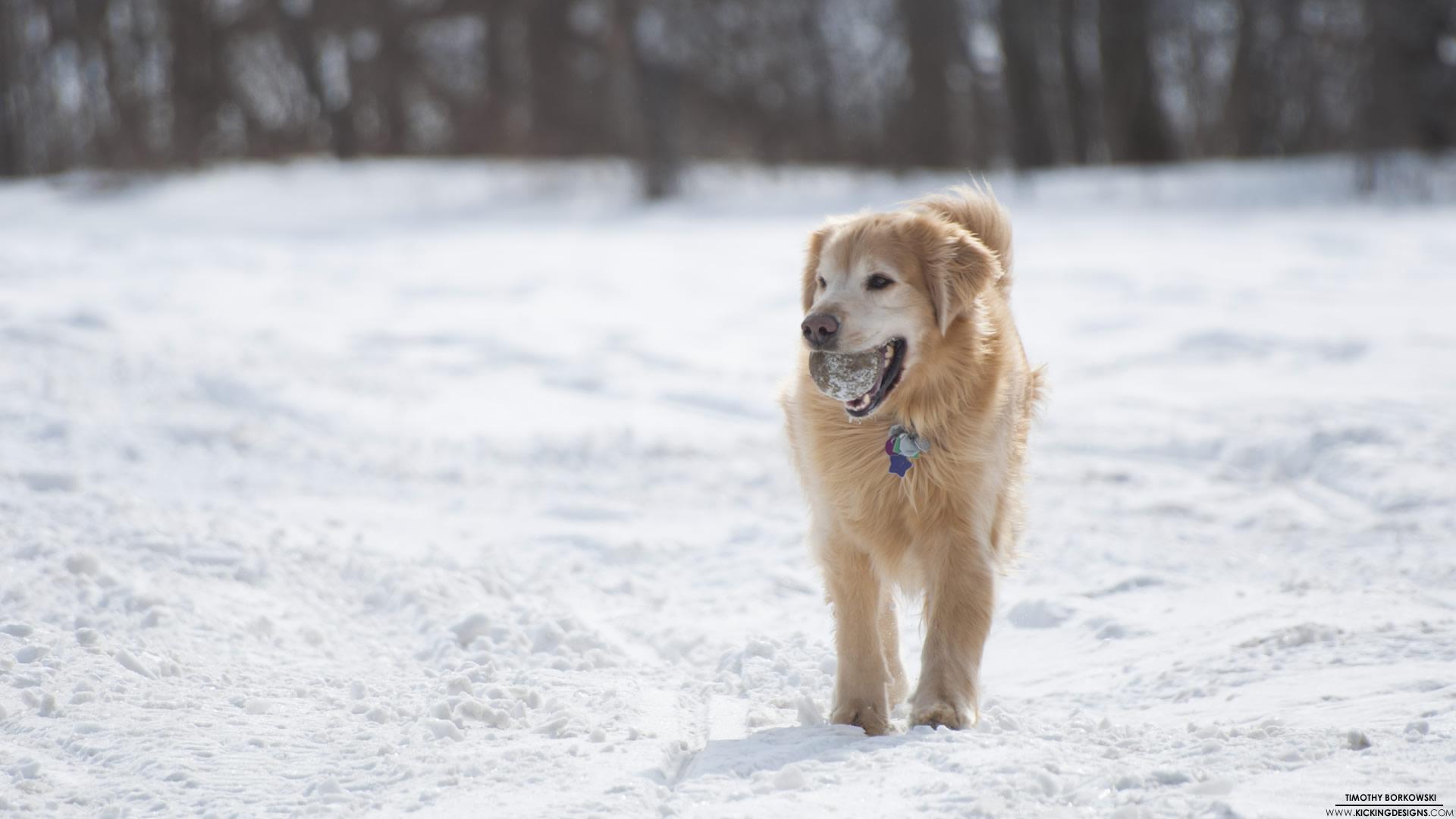 Golden Retriever Dog Wallpapers Full Hdq Golden Retriever Dog 1920x1080