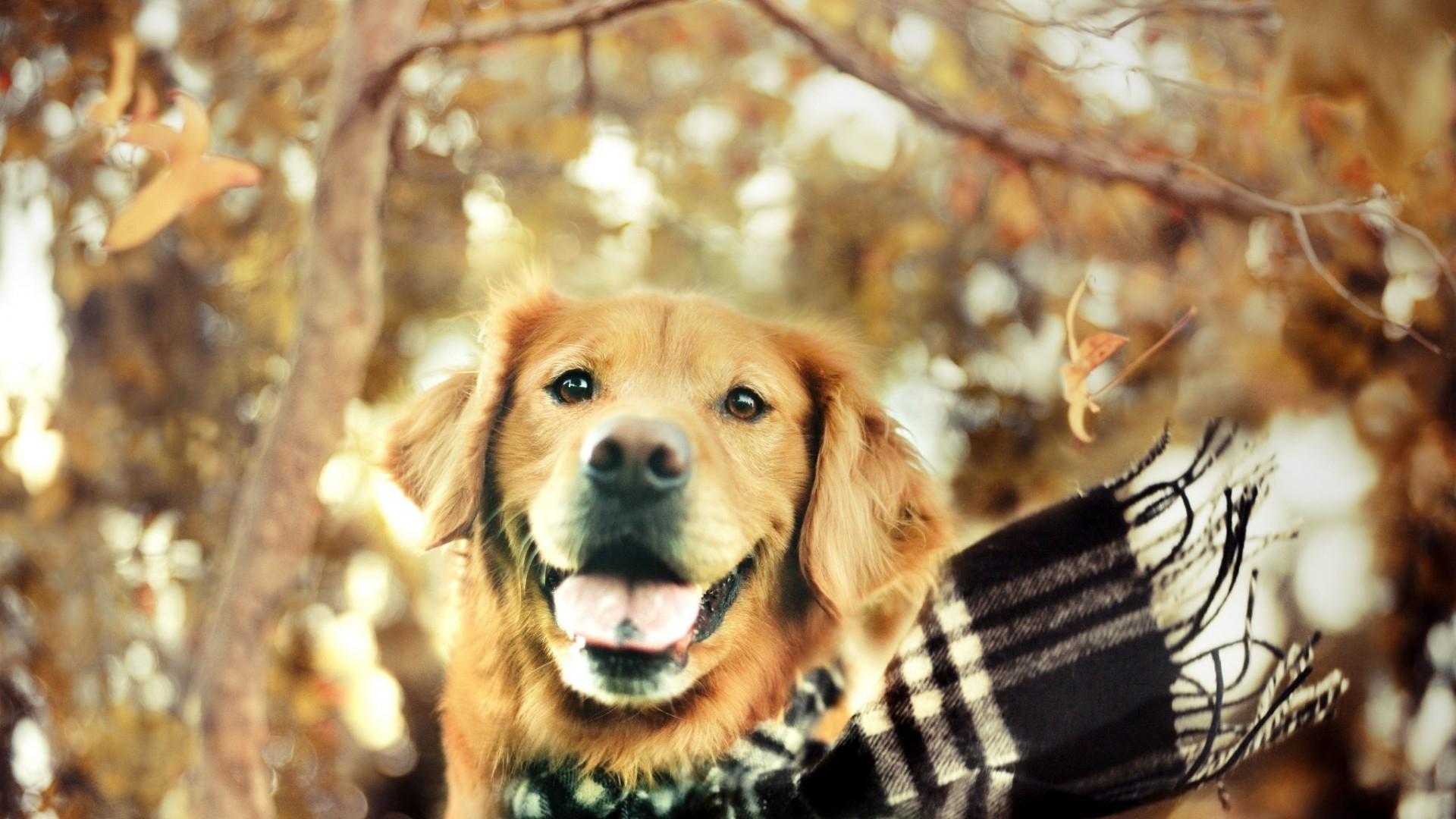 Golden Retriever Puppies Wallpapers Pictures 1920x1080
