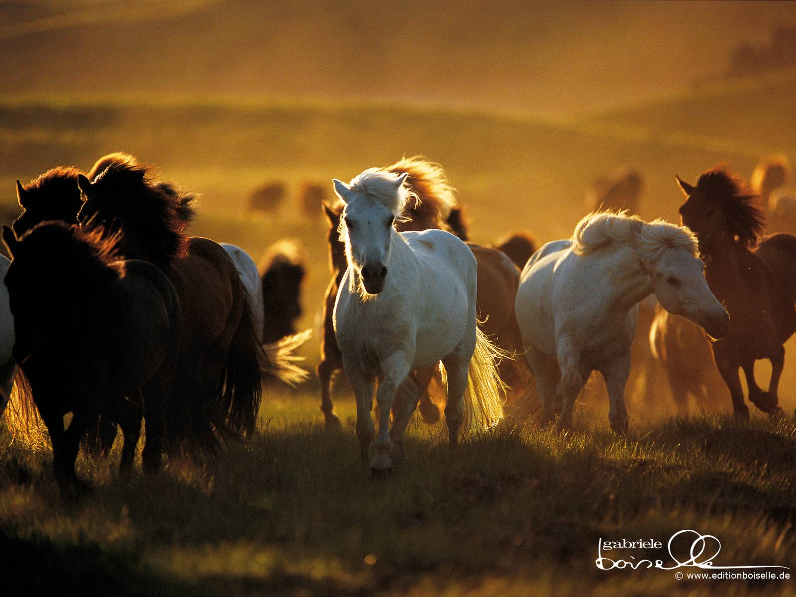 Iceland Horses Wallpapers  HD Wallpapers 1600x1200