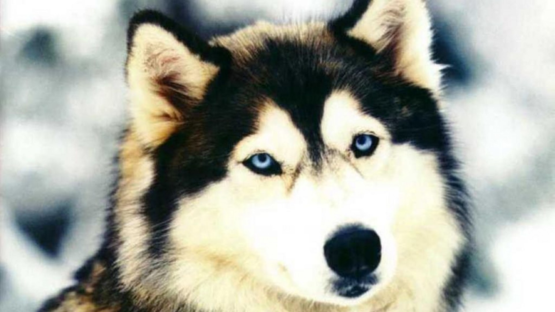 Husky HD Wallpapers  Backgrounds  Wallpaper Page  1920x1080