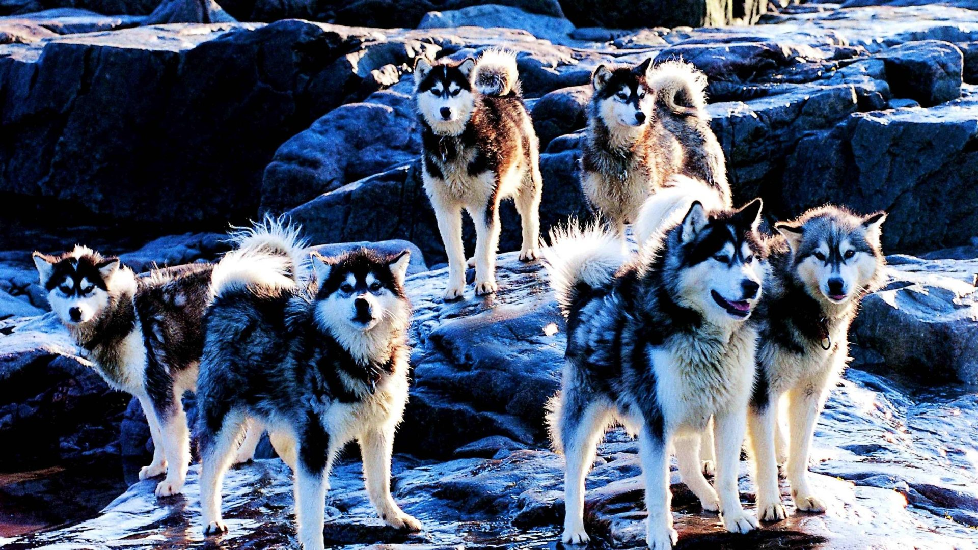 Siberian Husky Wallpapers  Wallpaper  1920x1080