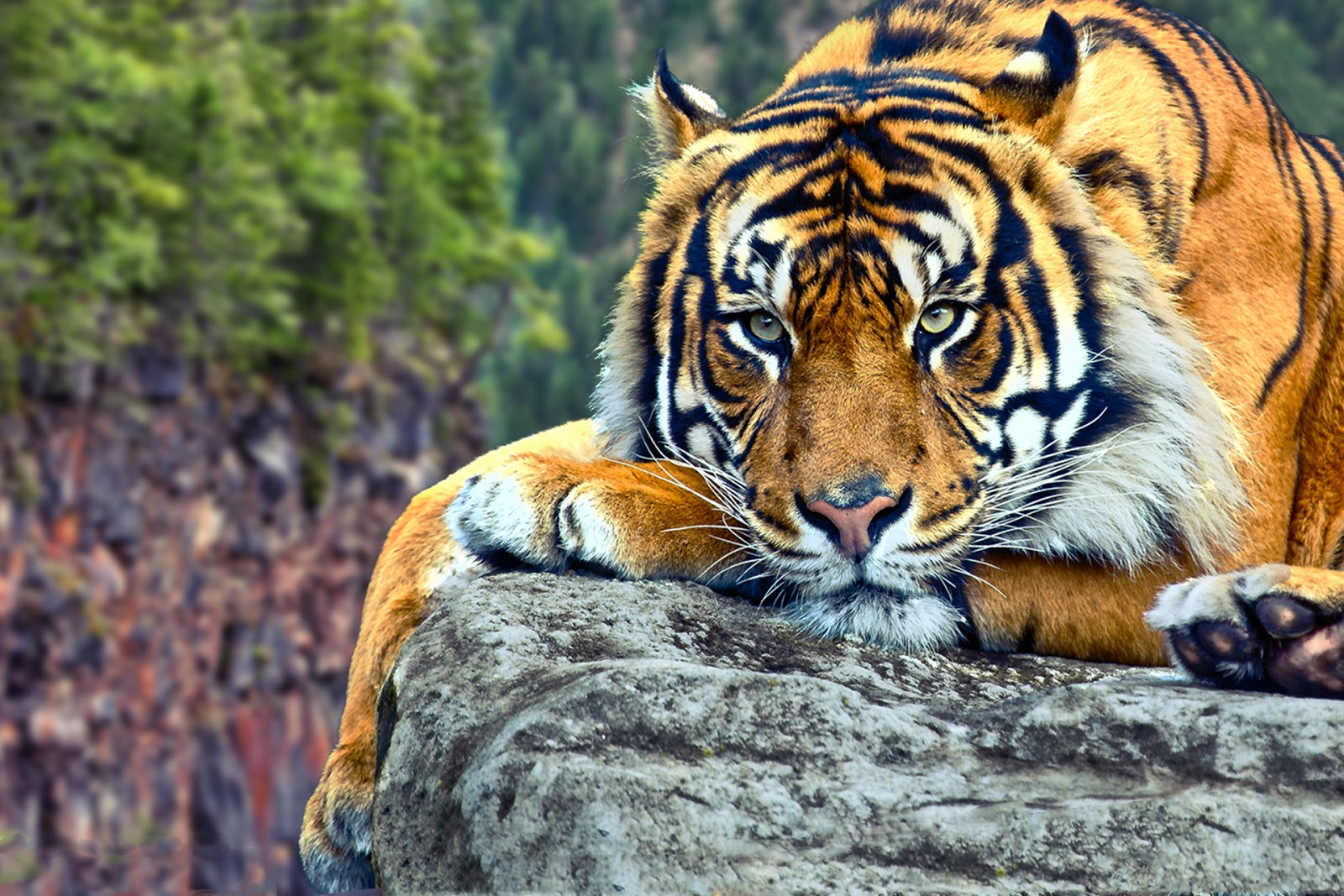 Best  Bengal Tiger Pictures and Wallpapers 1600x1067
