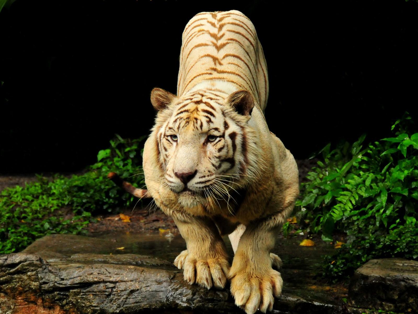 Beautiful Tiger Hd Desktop Wallpaper Fullscreen 1600x1200