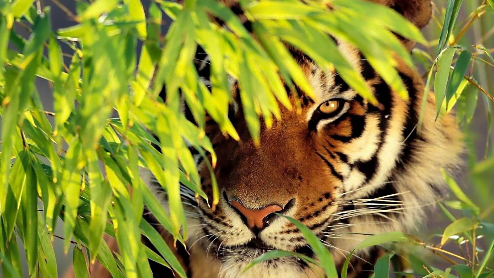 HD Tigers Wallpapers and Photos  HD Animals Wallpapers 1600x900