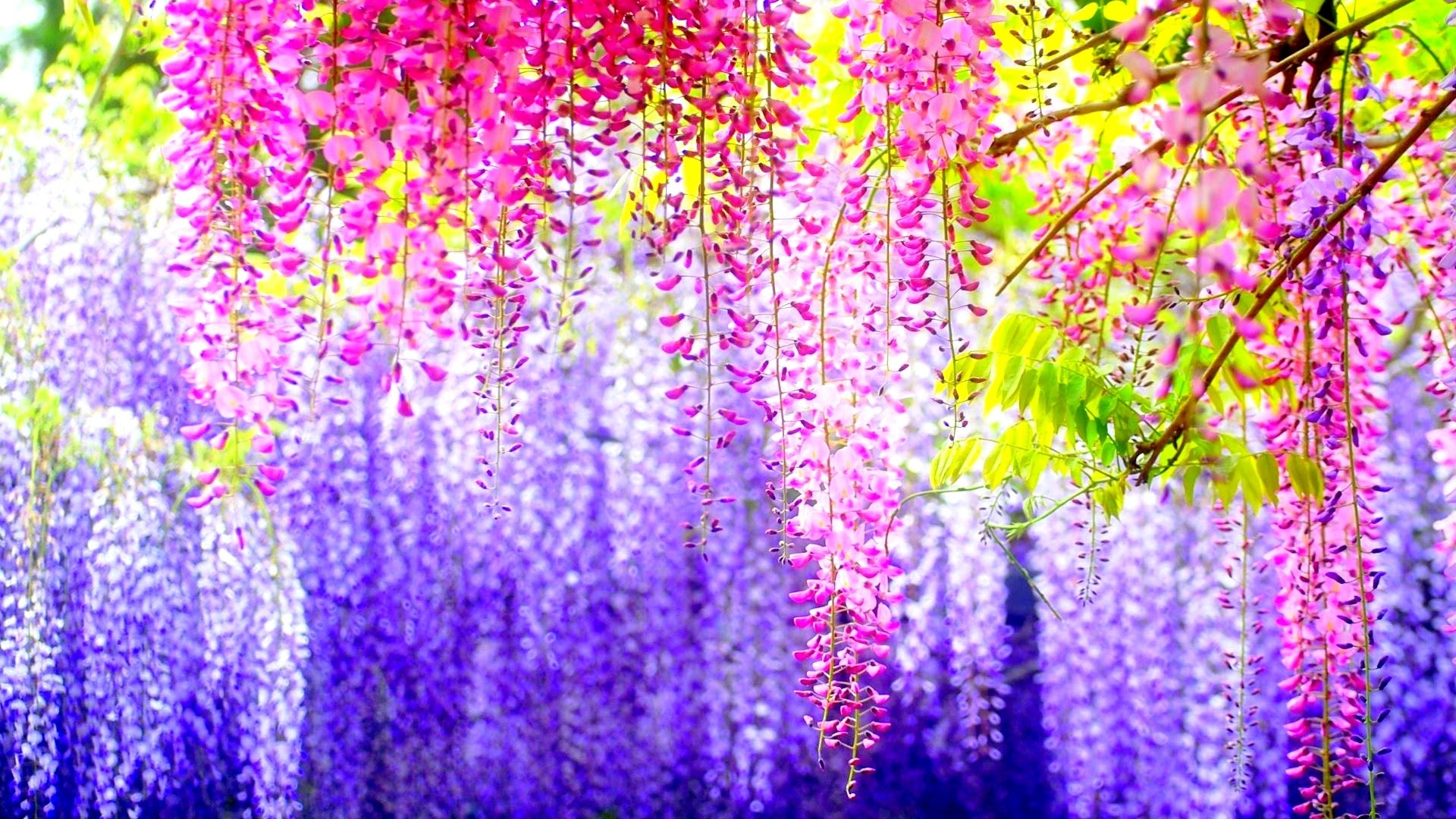 Spring Flowers Live Wallpaper Android Apps On Google Play 1920x1080