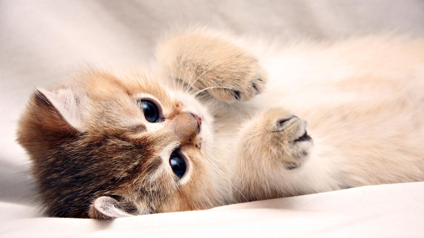 Lovely Cat Wallpaper Hd Pixelstalk Pc Cute Cats Top Wallpapers 1366x768
