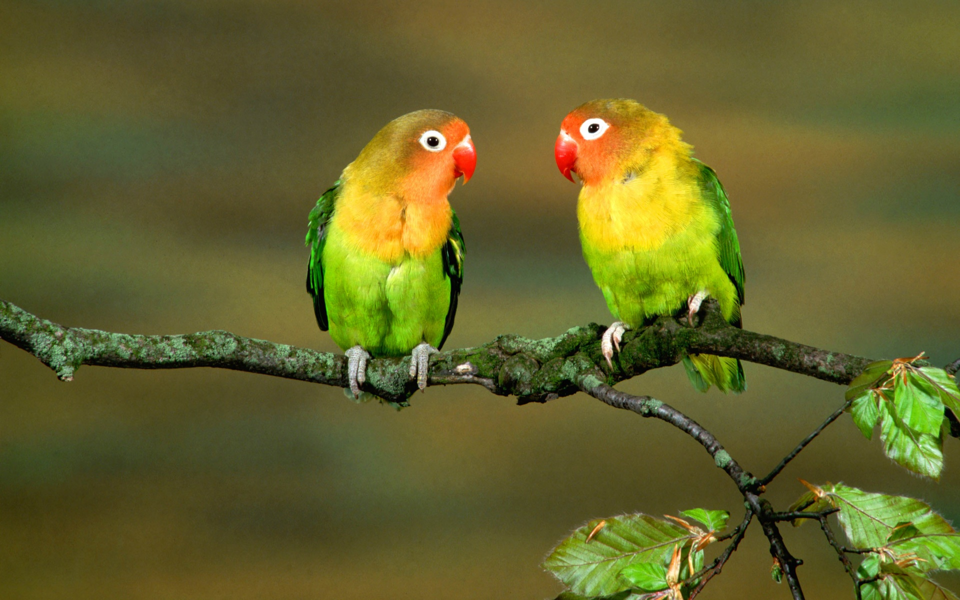love birds wallpaper  RayaWallpaper Love Bird Wallpapers  Wallpaper  1920x1200