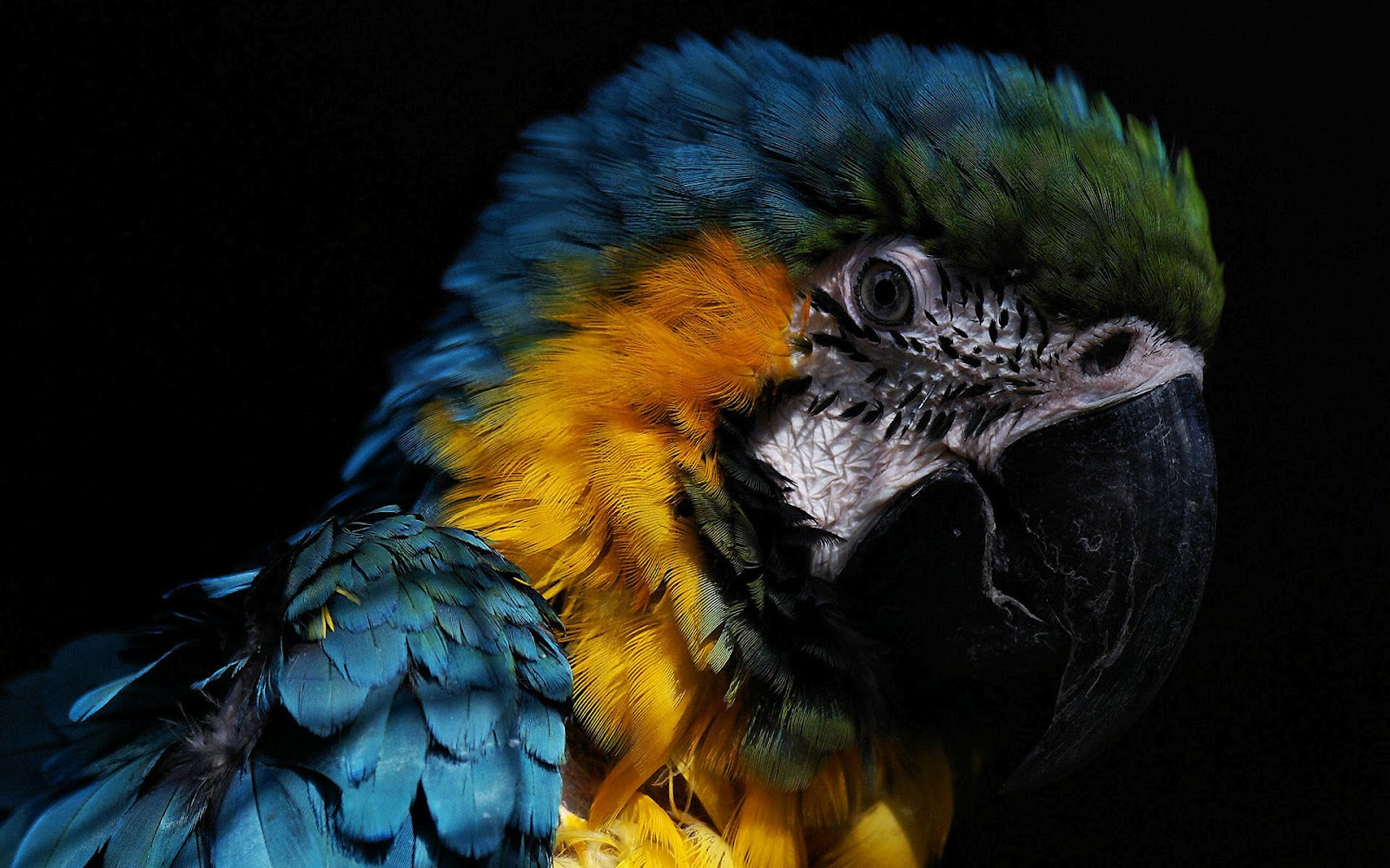 Parrots Wallpapers,  Free Modern Parrots Wallpapers ~ GuoGuiyan 1600x1000