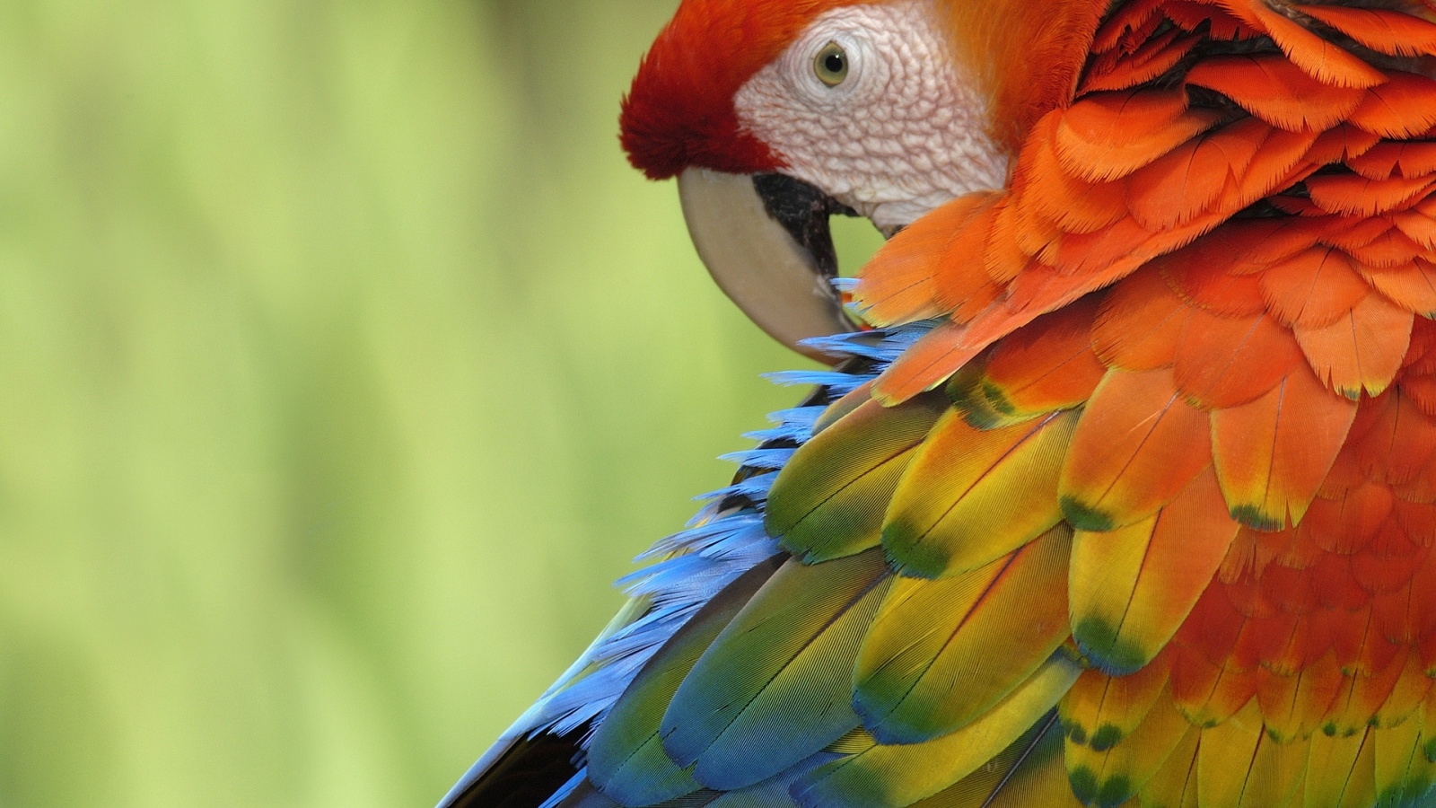 Top  Most Dashing And Beautiful Parrot Wallpapers In HD 1600x900