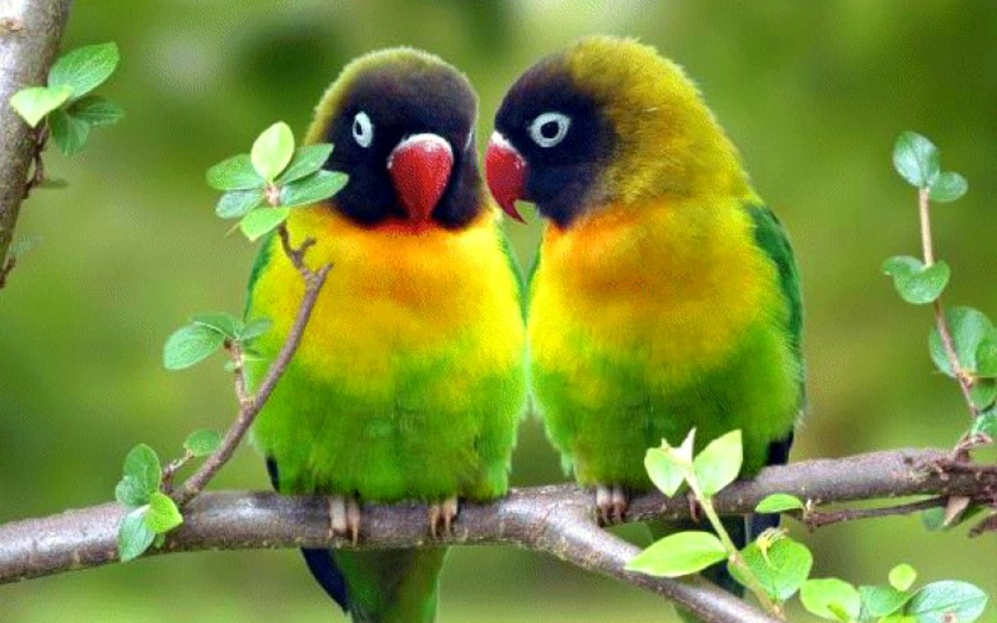 Parrot Wallpapers  Free Download Colorful Birds HD Desktop Images 1440x900