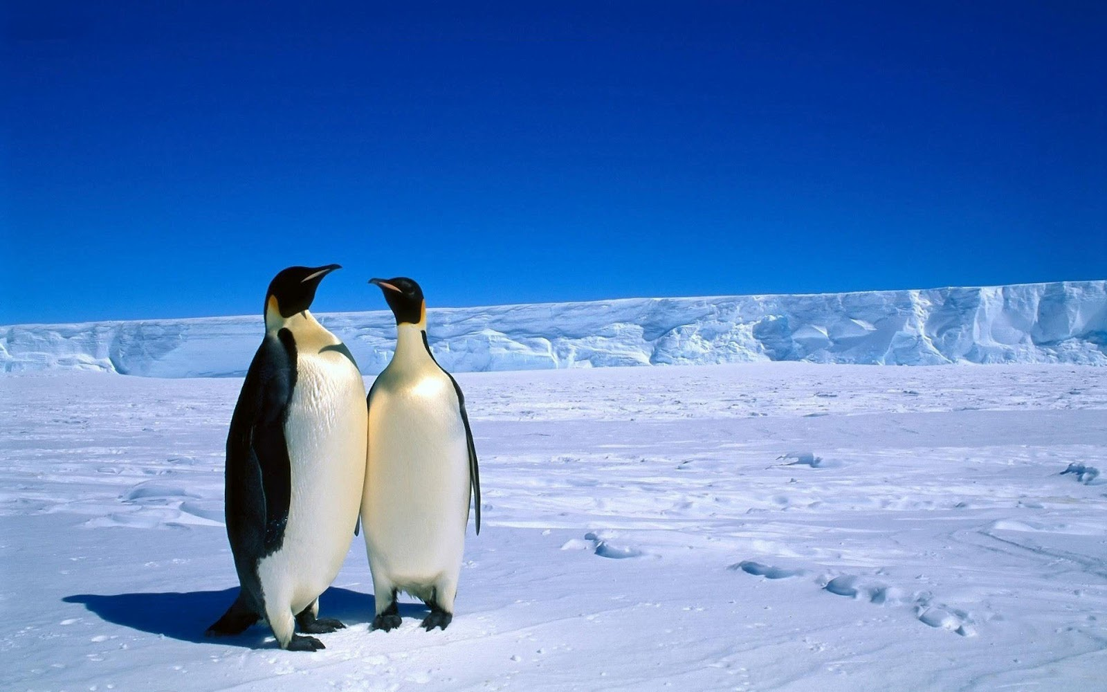 HD Bing Penguins Wallpaper 1600x1000