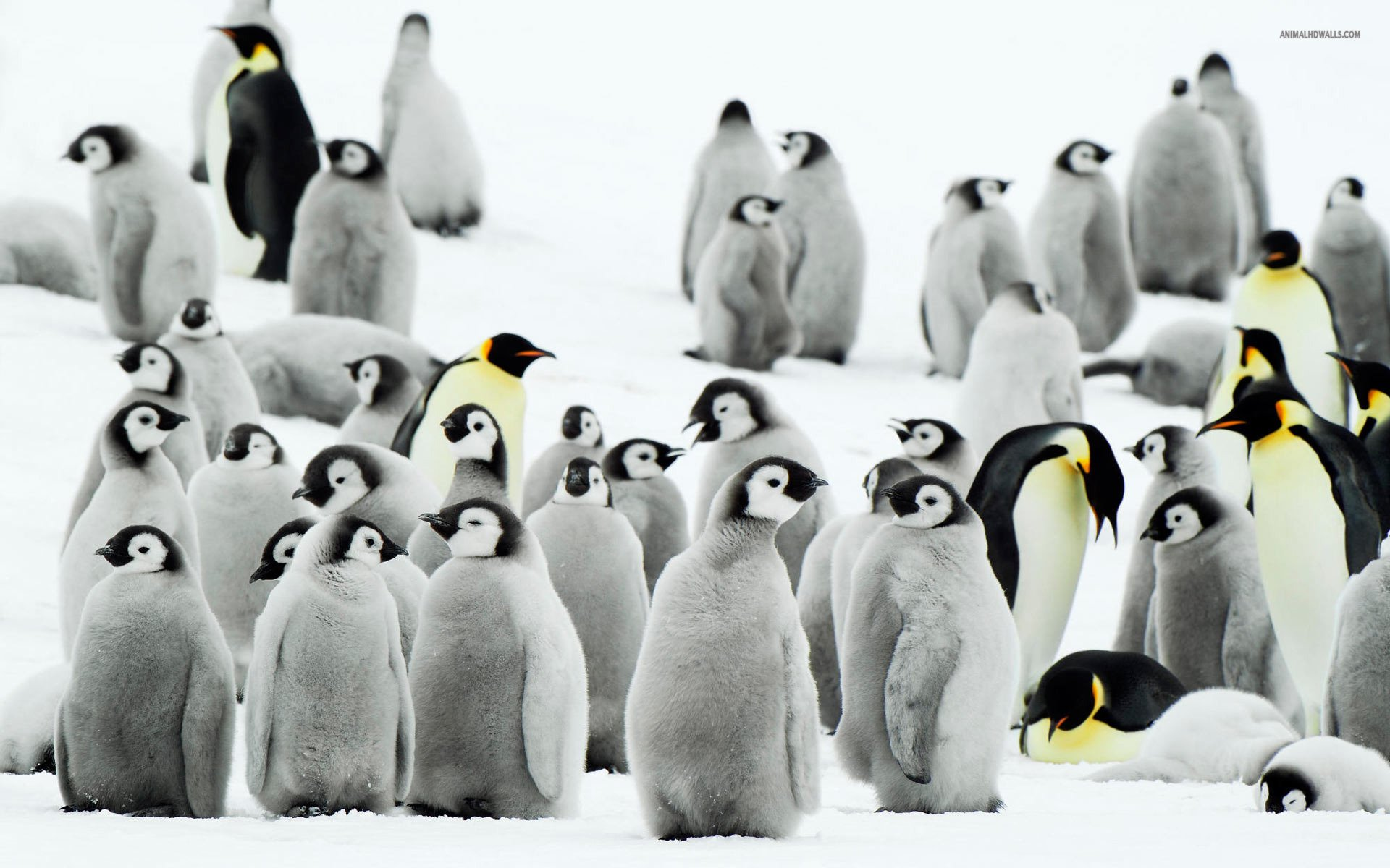Baby Penguin Wallpapers Group  1920x1200