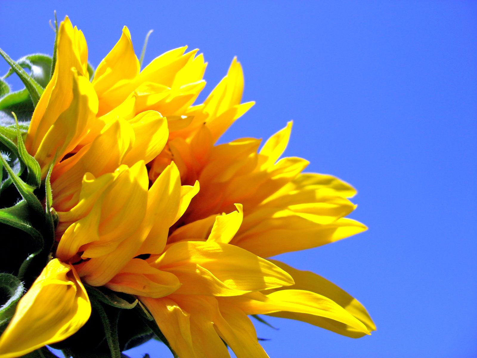 Most beautiful sunflowers wallpapers  HD Wallpapers Rocks 1600x1200
