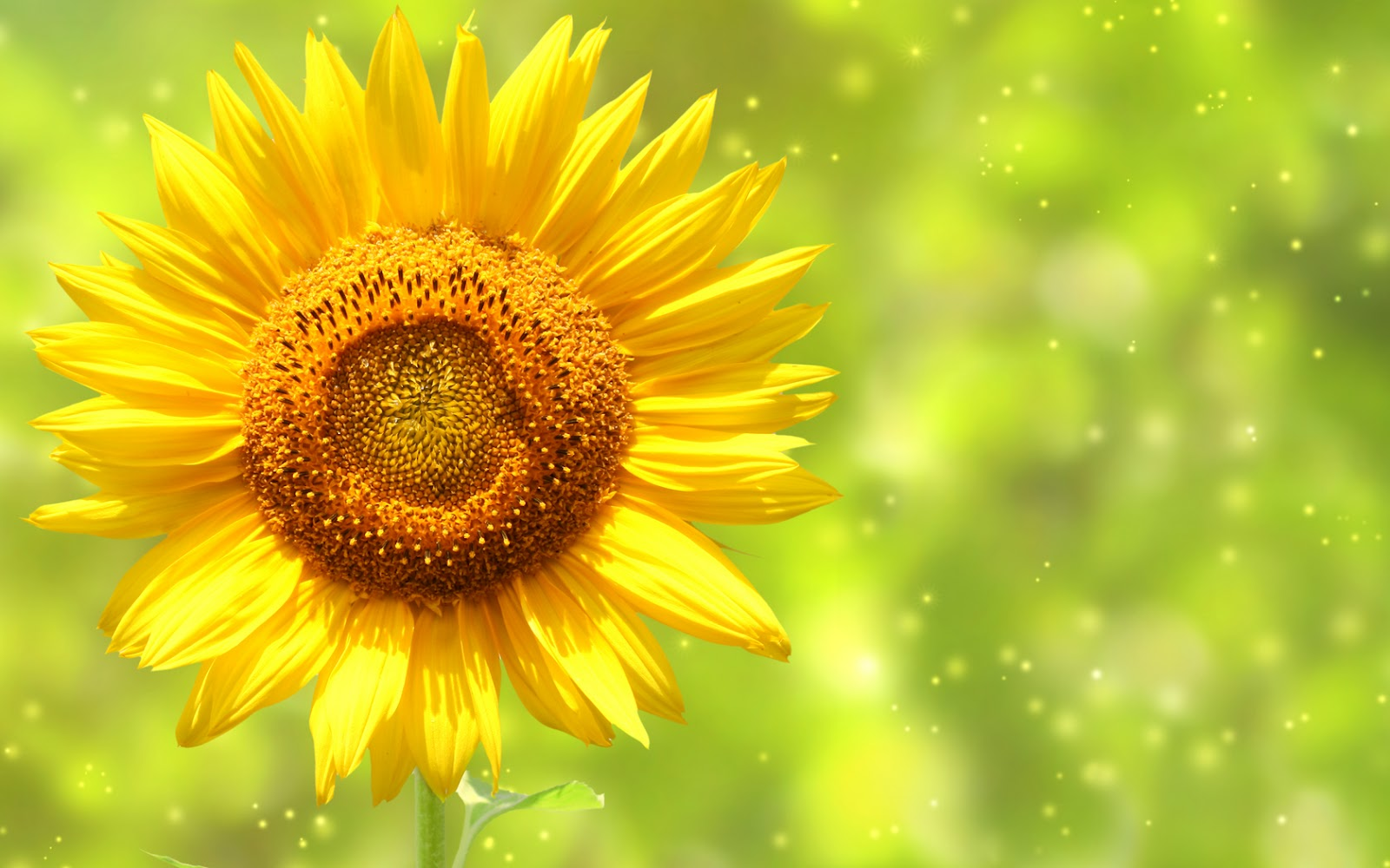 wallpapers: Sunflowers Wallpapers 1600x1000