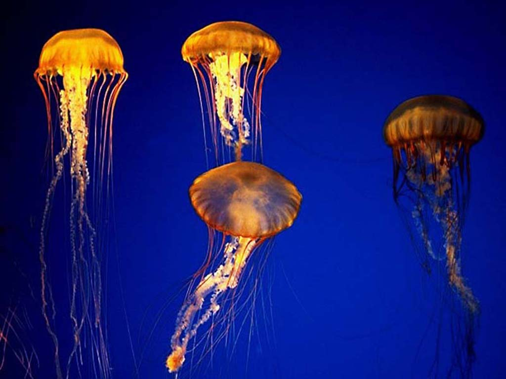 Jellyfish Invasion HD desktop wallpaper : Widescreen : Fullscreen 1024x768