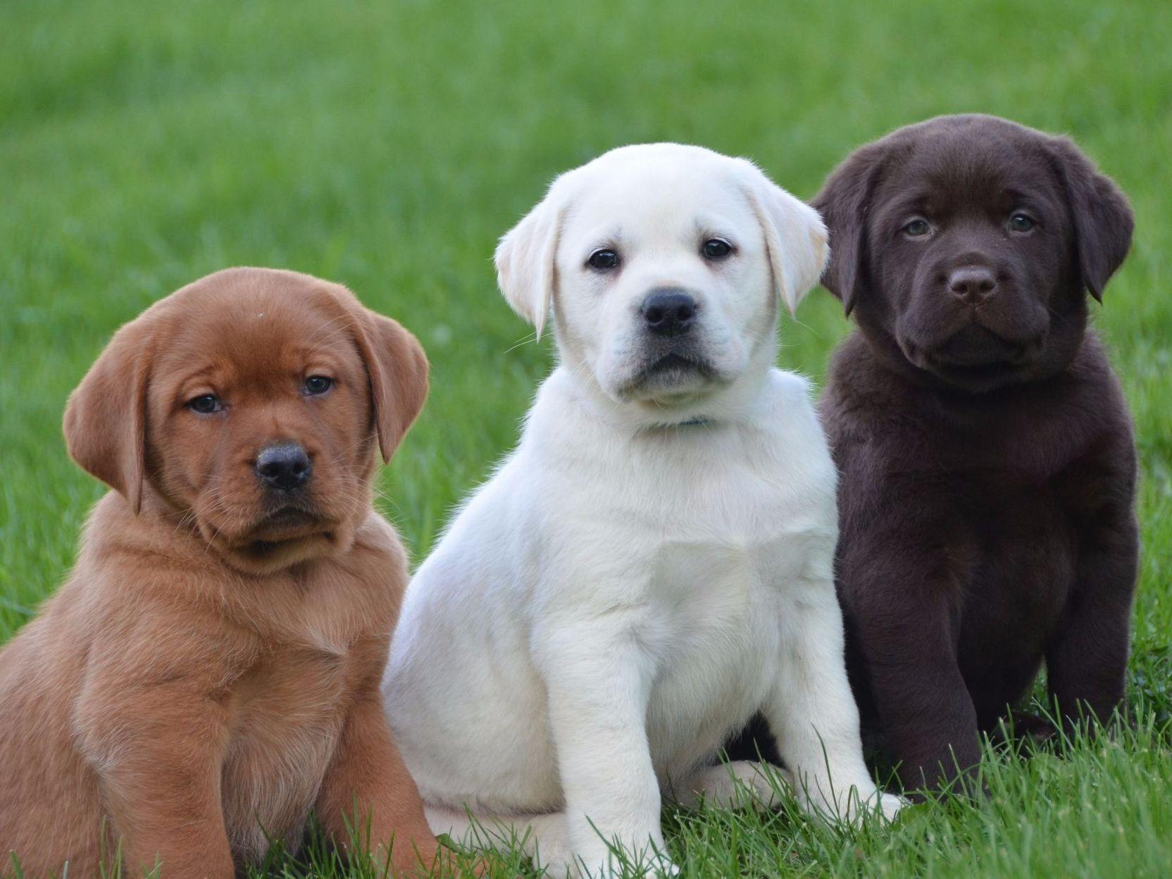 Lab Puppies Wallpaper Free Puppy Pictures Wallpapers 1664x1248