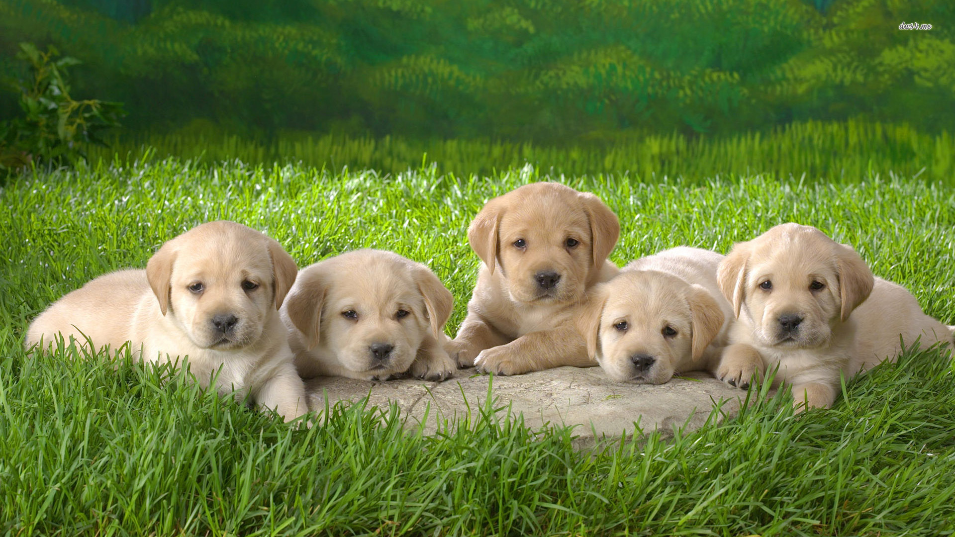 labrador puppies screensaver with wallpaper hd for mobile free 1920x1080