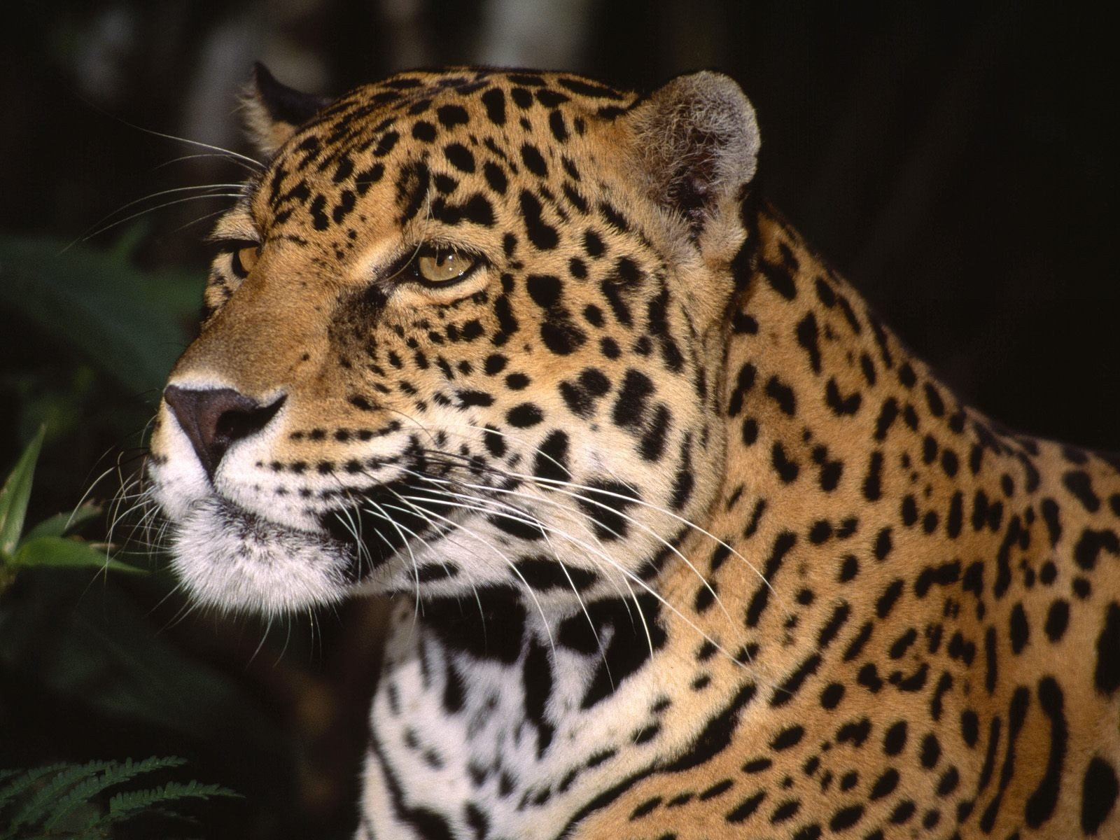 Awesome Amazing Leopard Pics  Amazing Leopard Wallpapers 1600x1200