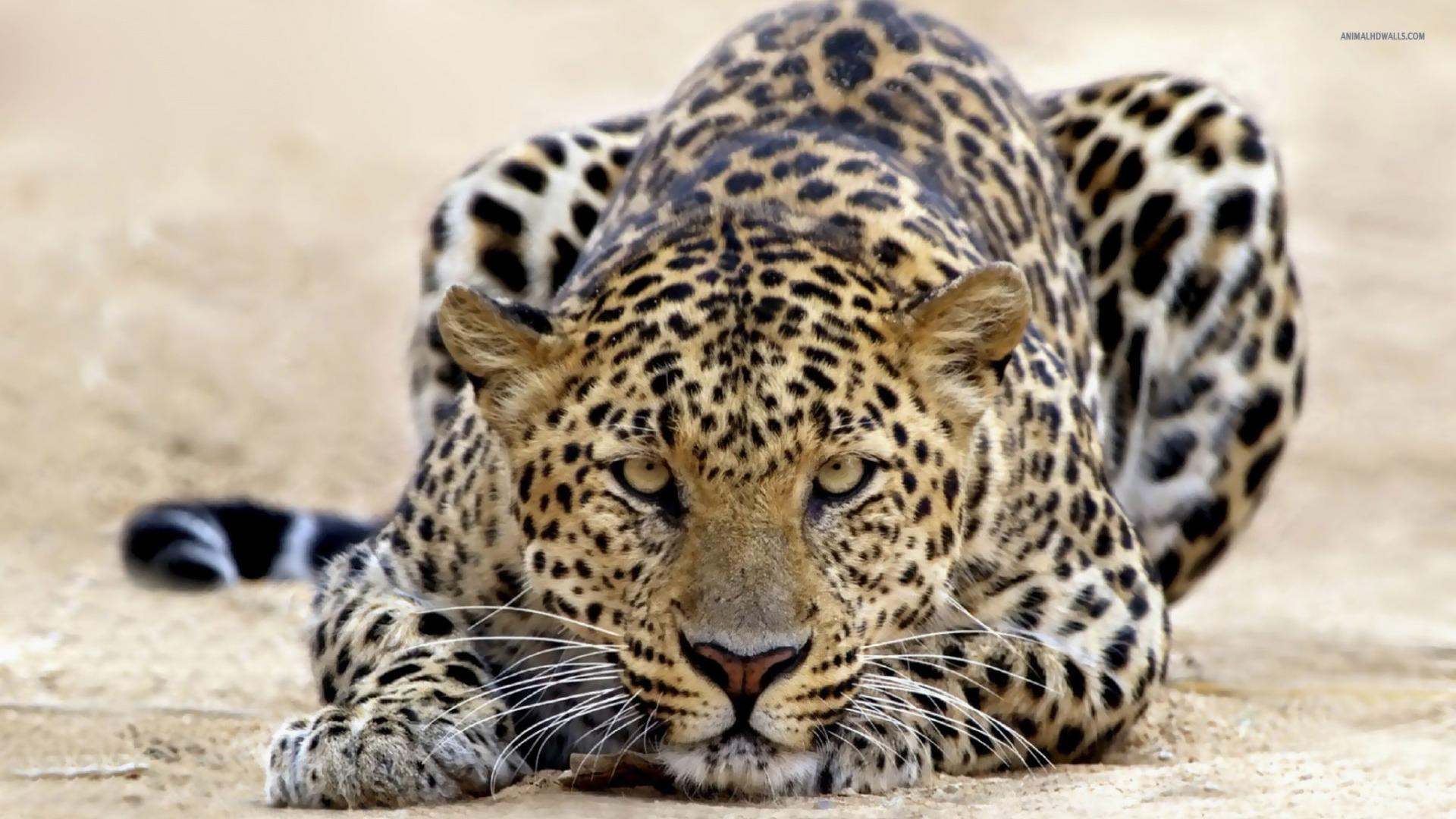Wallpaper Of Leopard 1920x1080