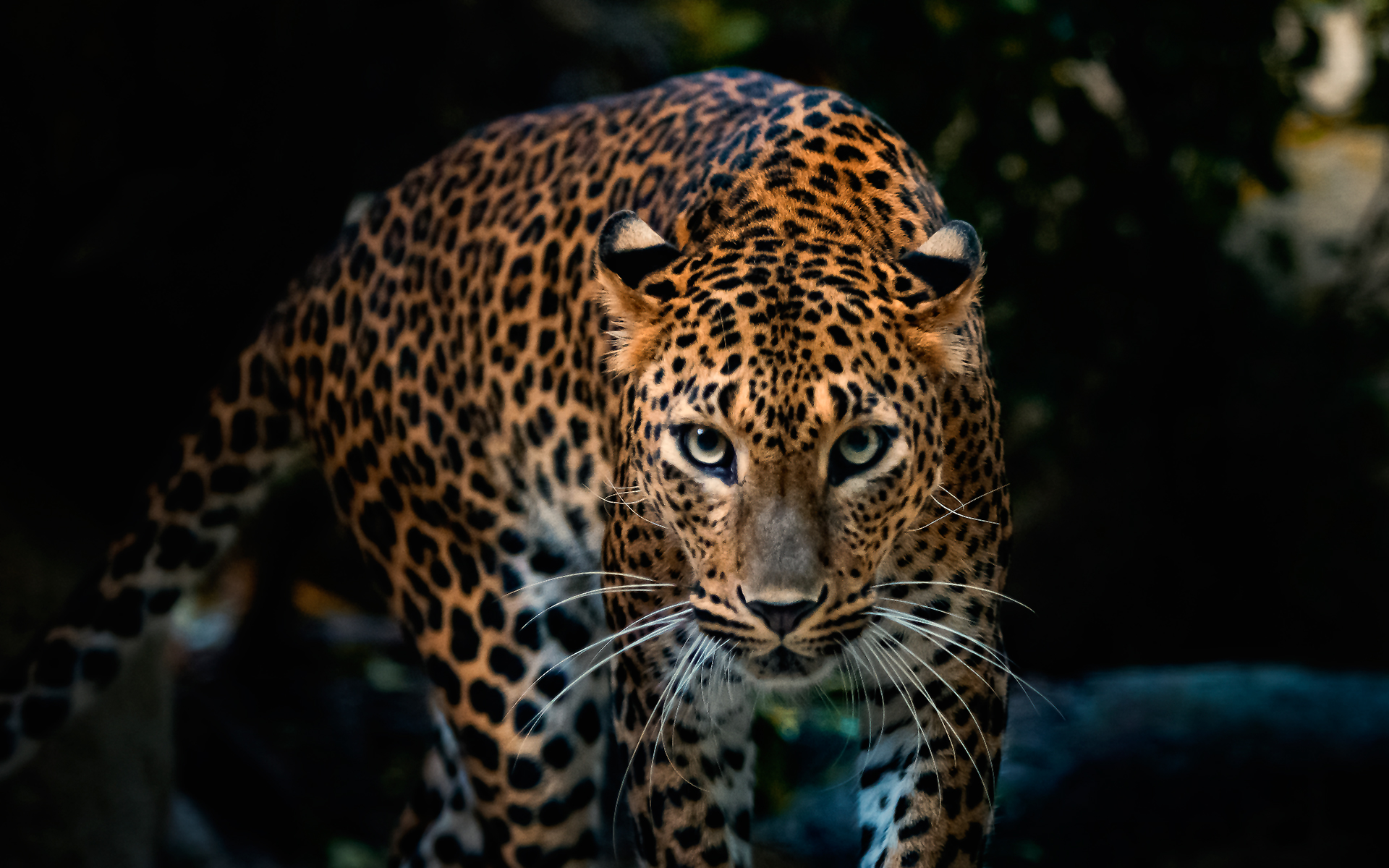 Leopard Wallpapers Amazing Wallpaperz 1920x1200
