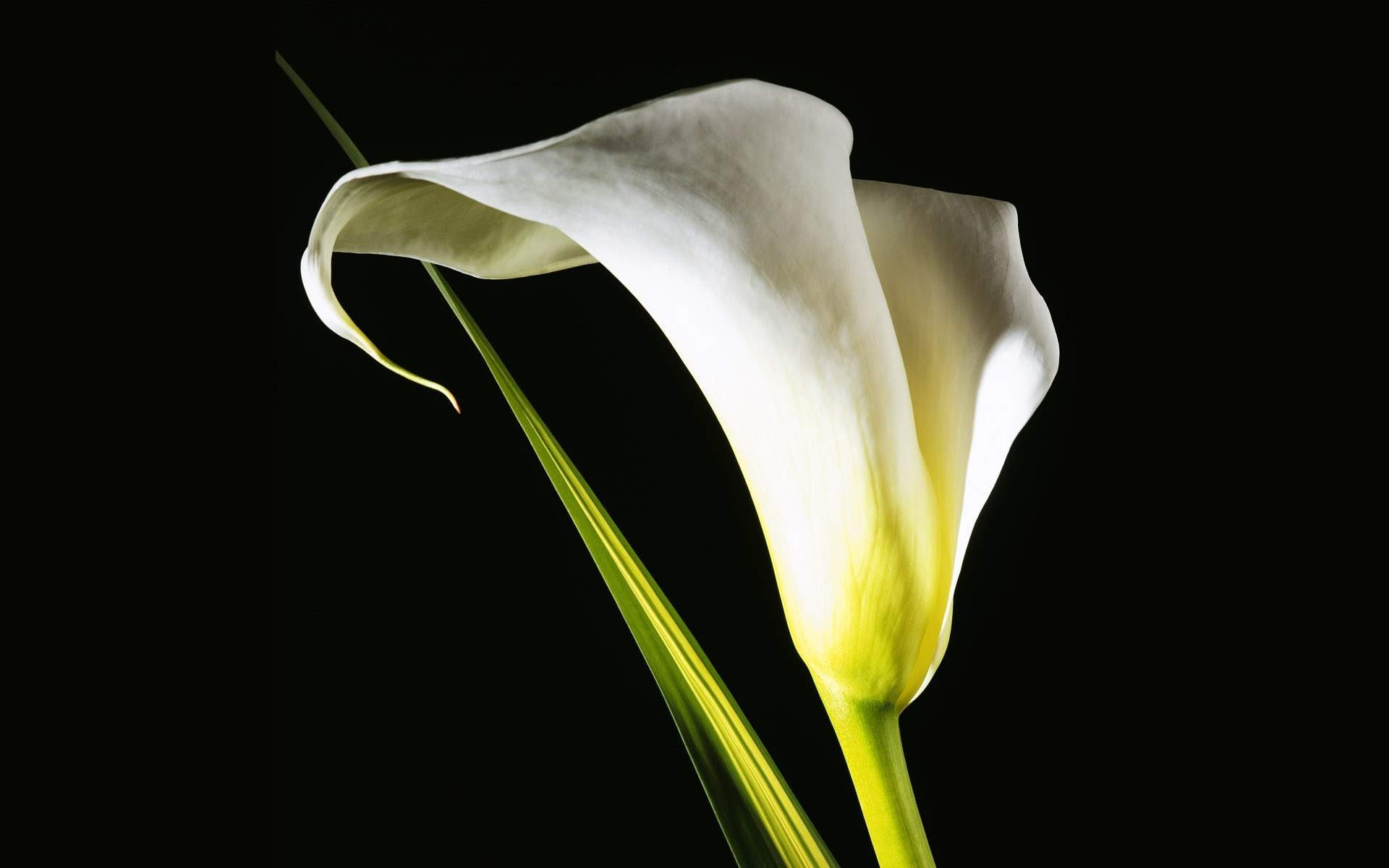 Digital Flower Photography Lily Flowers Lilies Flowers 1920x1200