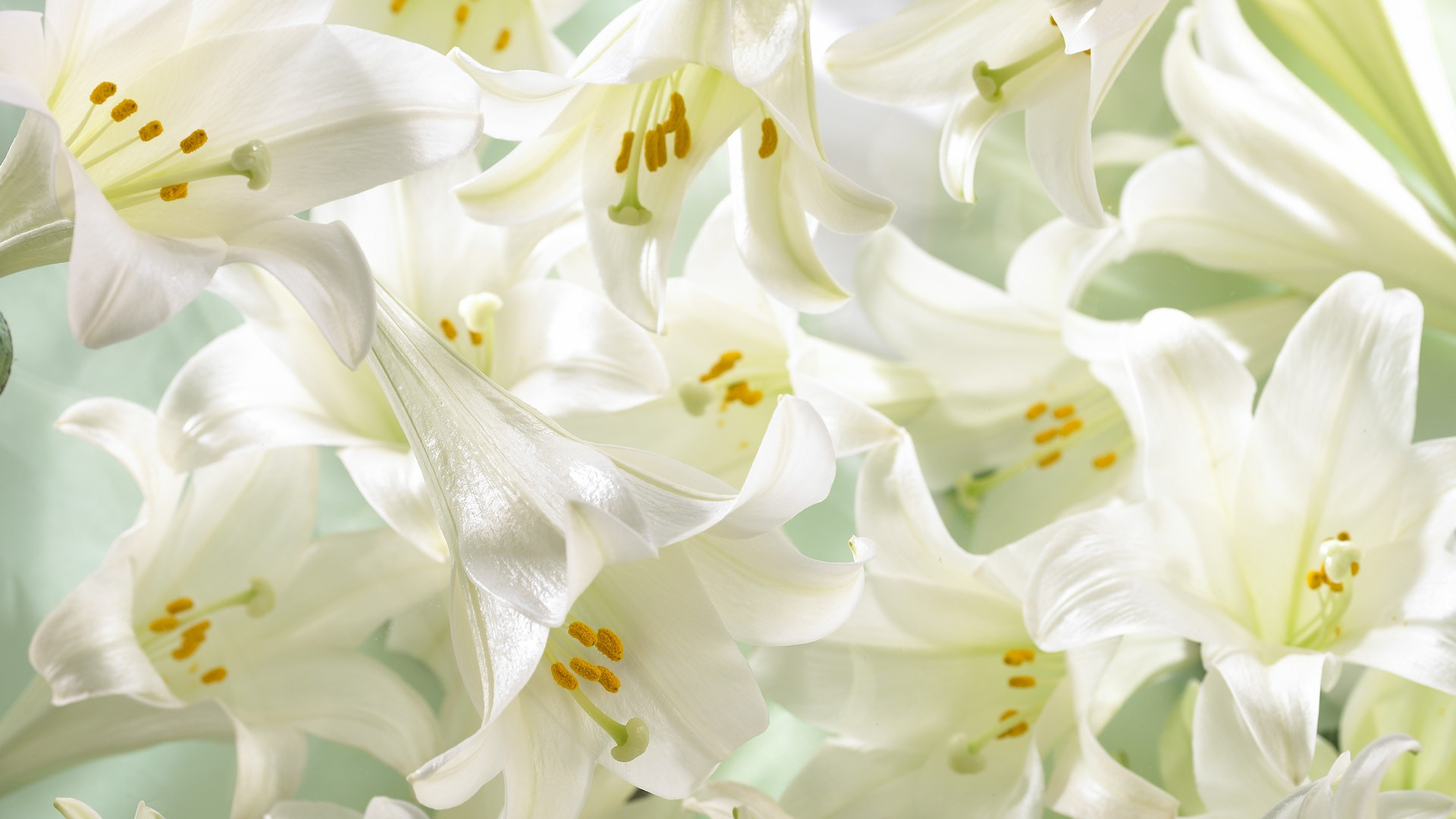 Digital Flower Photography Lily Flowers Lilies Flowers 1920x1080